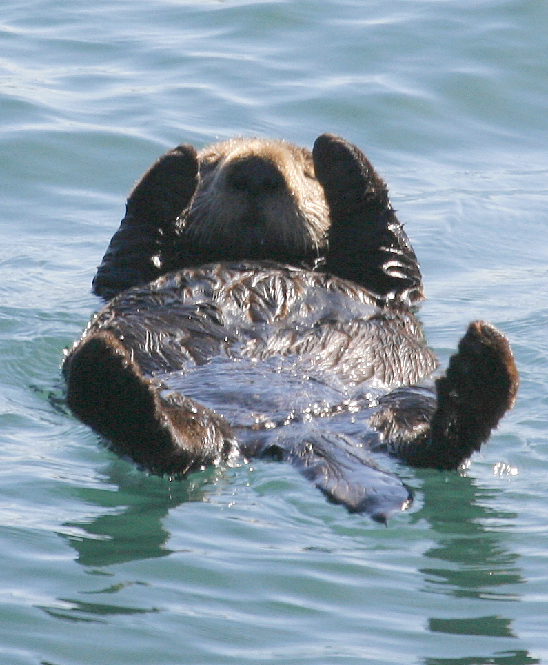 Sea-otter-morro-bay_on-back
